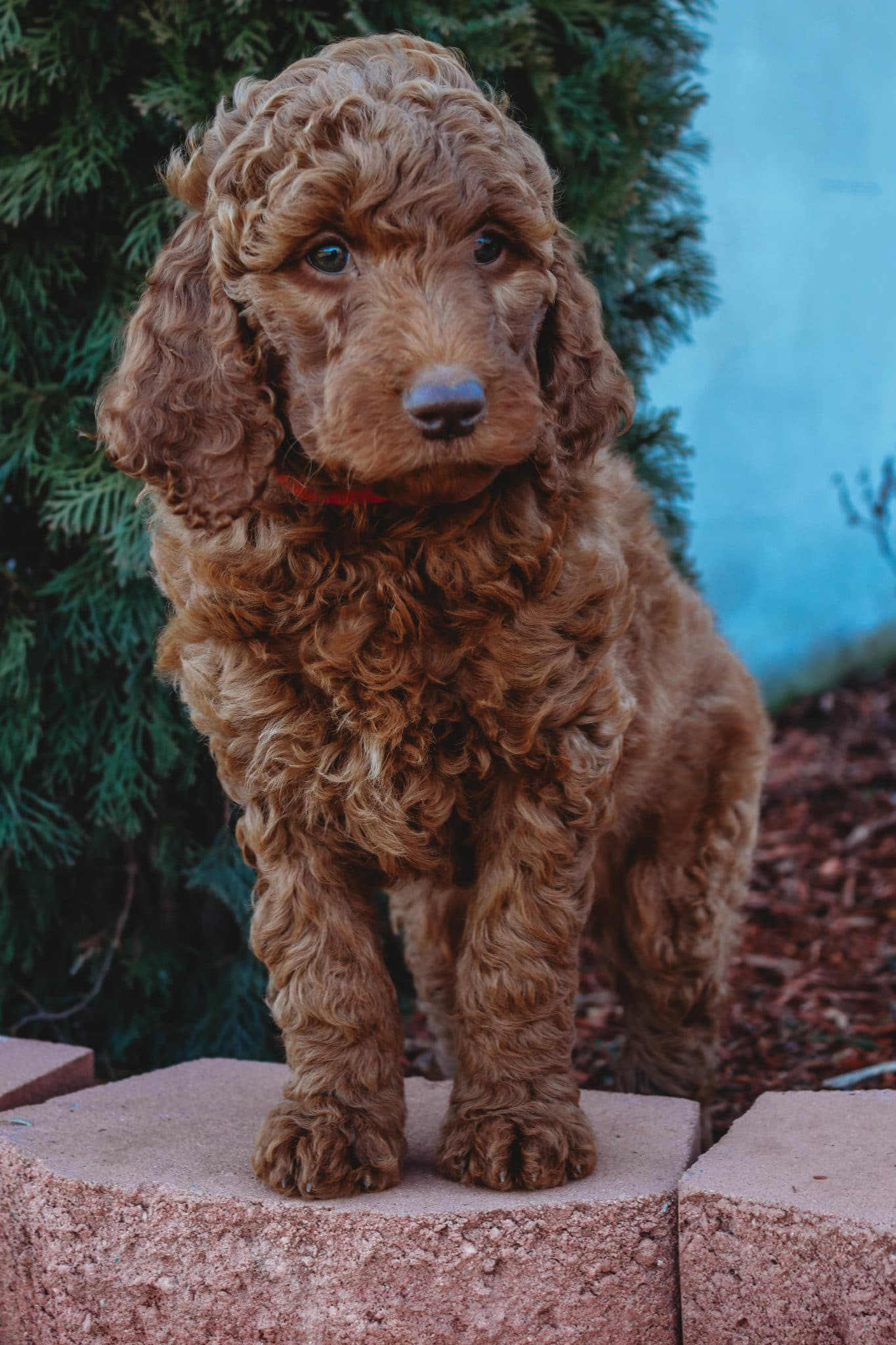 Goldendoodle Lifespan Get The Facts On Your Pup S Life Expectancy