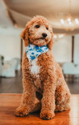 Adorable Goldendoodle with Blue Flower Handkerchief