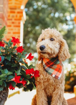 Young Goldendoodle in Red Handkerchief